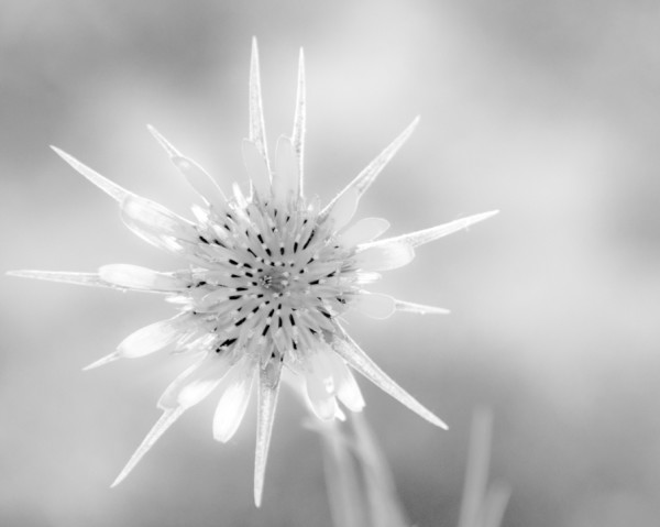 Yellow Salsify, Crested Butte, CO