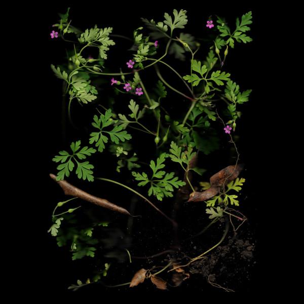 Cransebill–Wild Geranium, Edition x of 10
