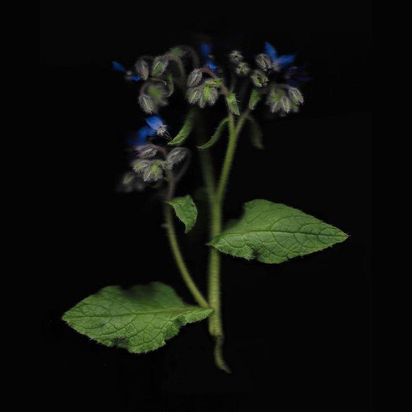 Borage–Star Flower, Edition x of 10
