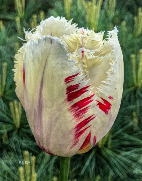 Painted White Tulip