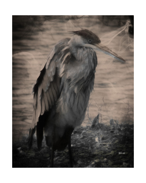 Angry Blue Heron