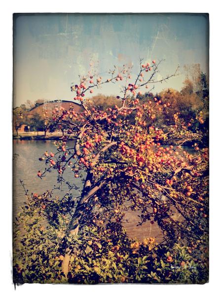 Apple Tree in Summer