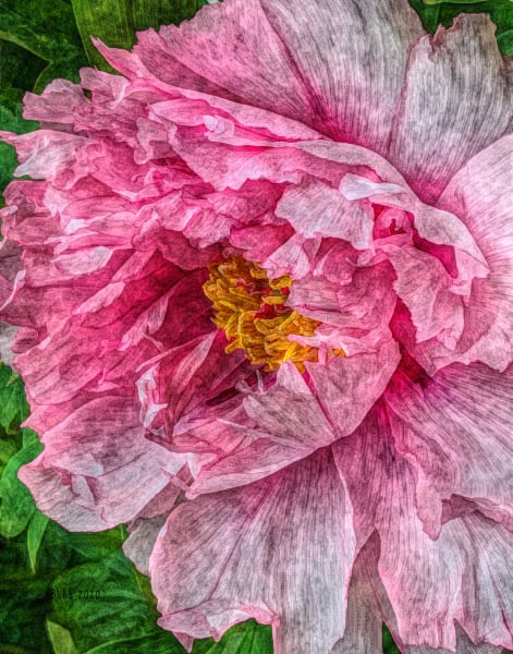 Delicate Pink Peony