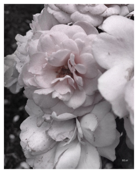 Pale Summer Roses