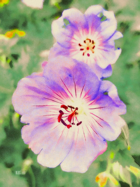 Rozanne Cranesbill Geranium