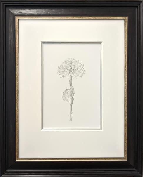 Chrysanthemum iii