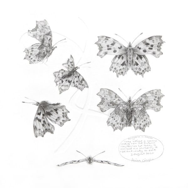 Study of a  Butterfly 002 ~ Comma