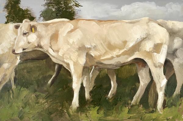 Blonde d'Aquitaine herd