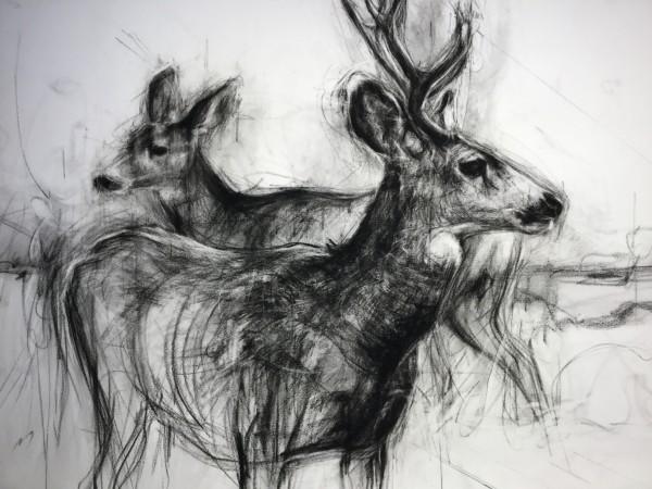 Mule deer Pair