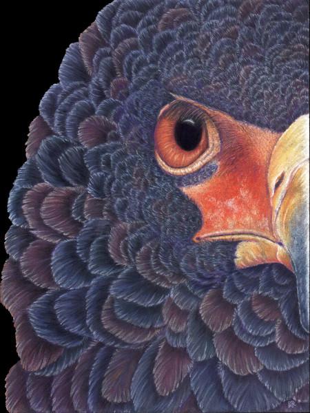 Bateleur Eagle Print