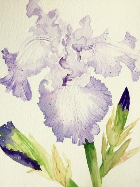 Lovely Lavender Iris