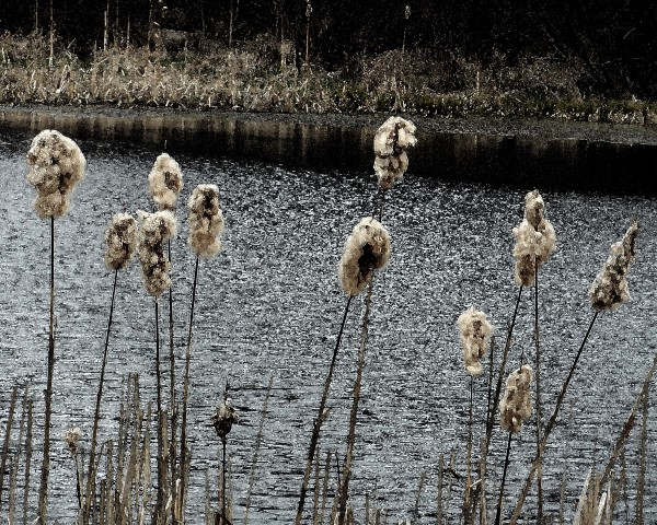 Roxbury Pond Cattails 1