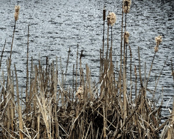 Roxbury Pond Cattails 2