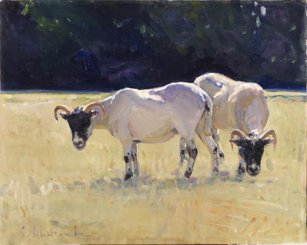 Blackface Ewes