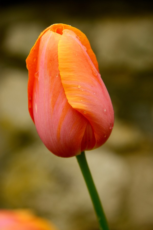 Menton Tulip by Gilchrist Jackson MD, FACS