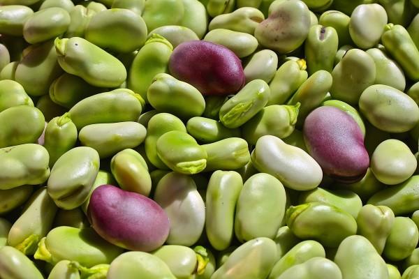 Fava Bean Harvest by Ziad El-Zaatari, MD