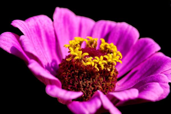 Purple Pink Cosmos by Alexandra Jordankova