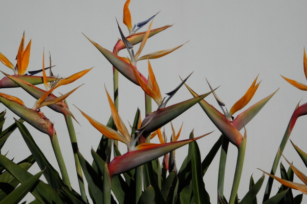 Bird of Paradise LA 2018 by James McElroy