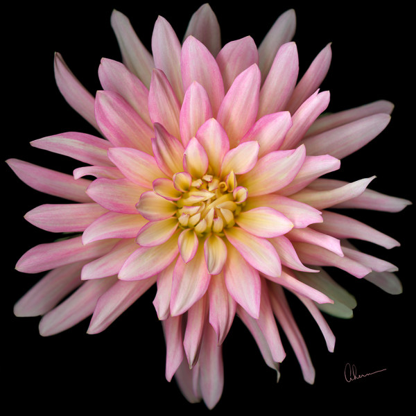 Pink Cactus Dahlia Squared by Mary Ahern