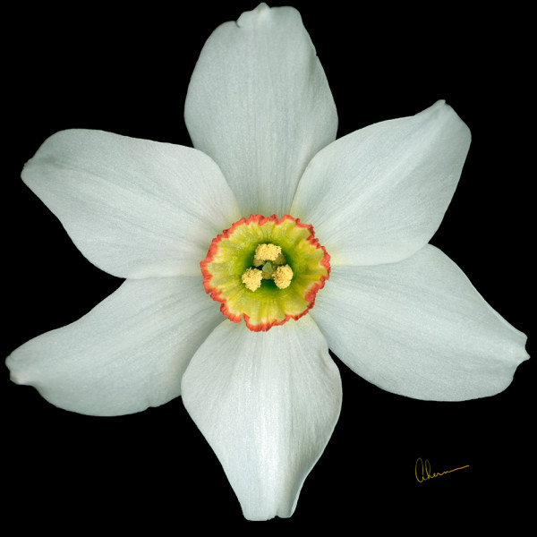 White Poeticus Daffodil Squared by Mary Ahern