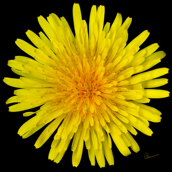Dandelion Flower Squared by Mary Ahern