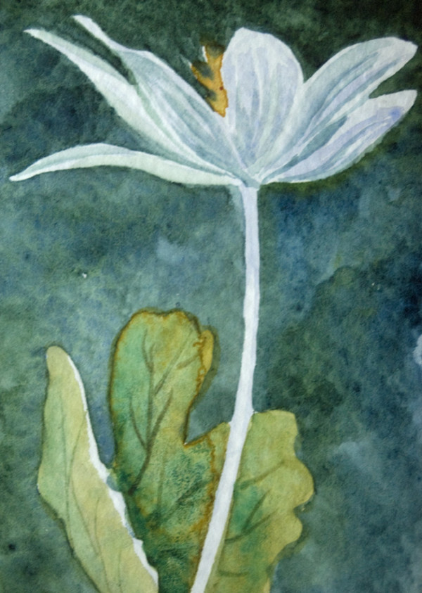 Bloodroot ACEO, 15 of 33 by Helen R Klebesadel