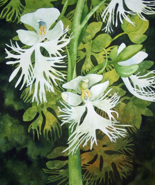 Fringed Prairie Orchids by Helen R Klebesadel