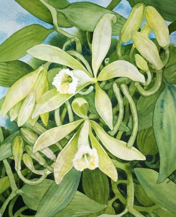 Vanilla Study I by Helen R Klebesadel