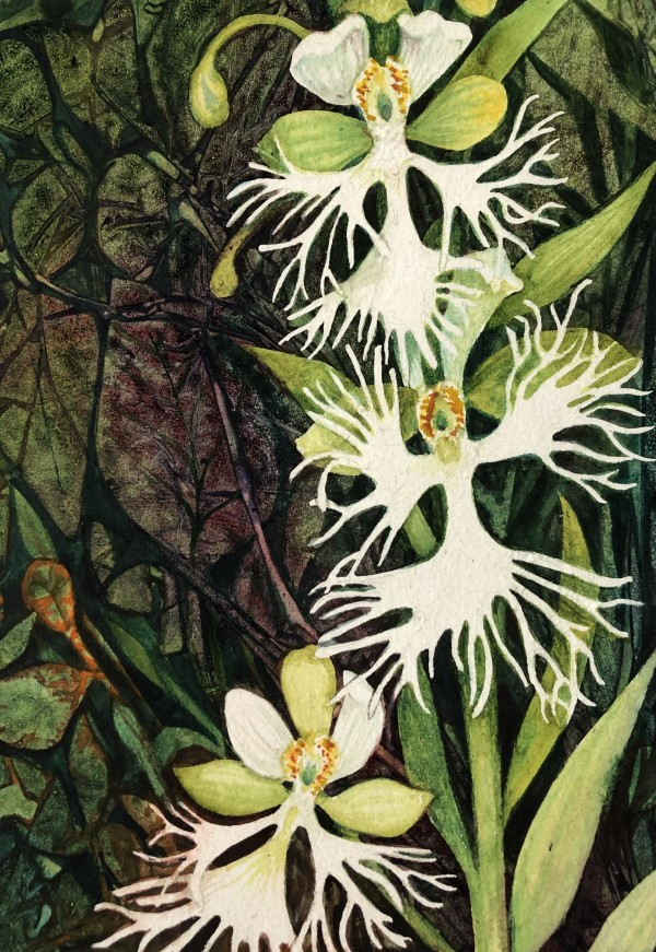 Fringed Prairie Orchid Study I by Helen R Klebesadel