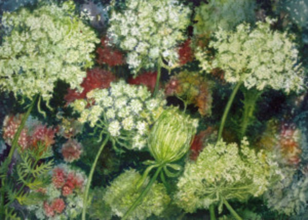 Queen Ann's Lace Study III an original watercolor by Helen R Klebesadel