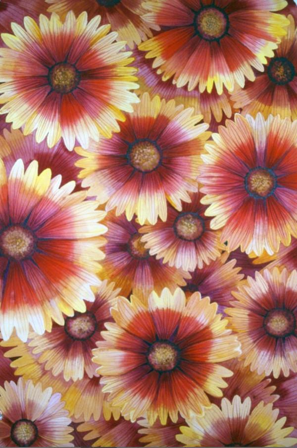 Blanket Flower I by Helen R Klebesadel