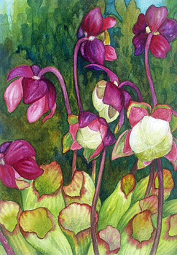 Pitcher Plant Flowers by Helen R Klebesadel