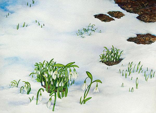 Spring Snow Drops by Helen R Klebesadel