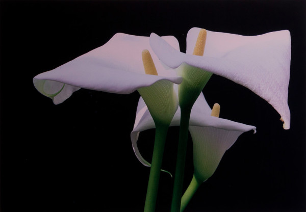 Calla Lillies, New York by Ernst Haas