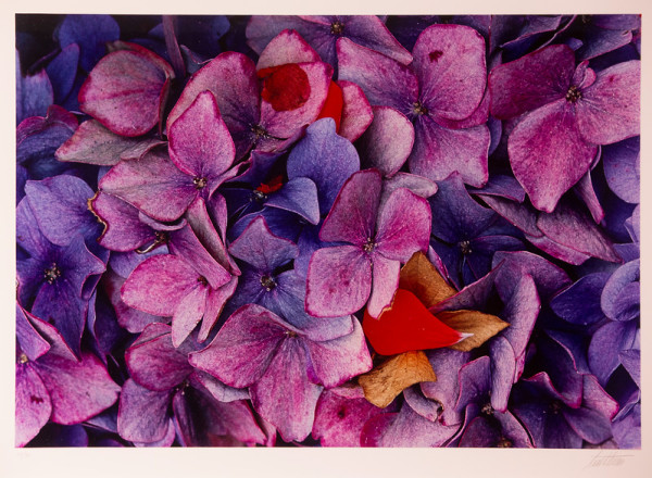 Hydrangeas, California by Ernst Haas