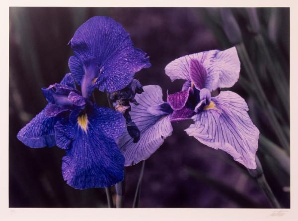 Irises, Japan by Ernst Haas