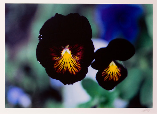 Pansies, Colorado by Ernst Haas