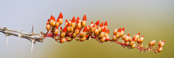 Thorny Candy Corn by E Wand