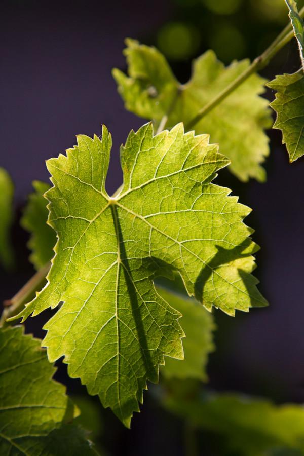 Vine Veins by E Wand
