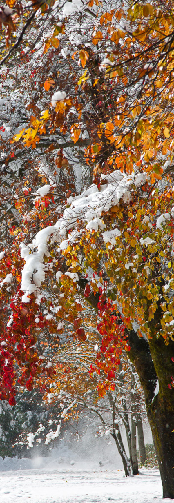Snow on Autumn Trees by E Wand