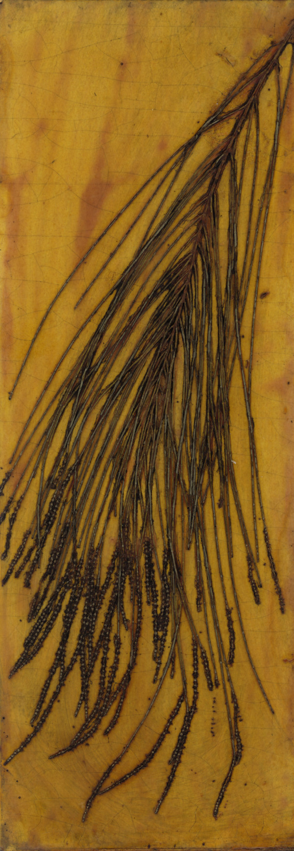 Casuarina with Male Flowers 2 Plate by Jacky Lowry