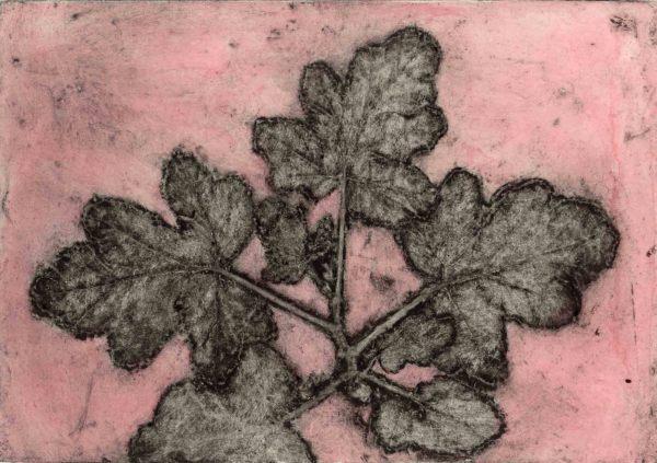 Scented pelargonium 3, 2/5 by Jacky Lowry