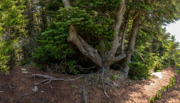 Balsam Fir Root by Alan Powell