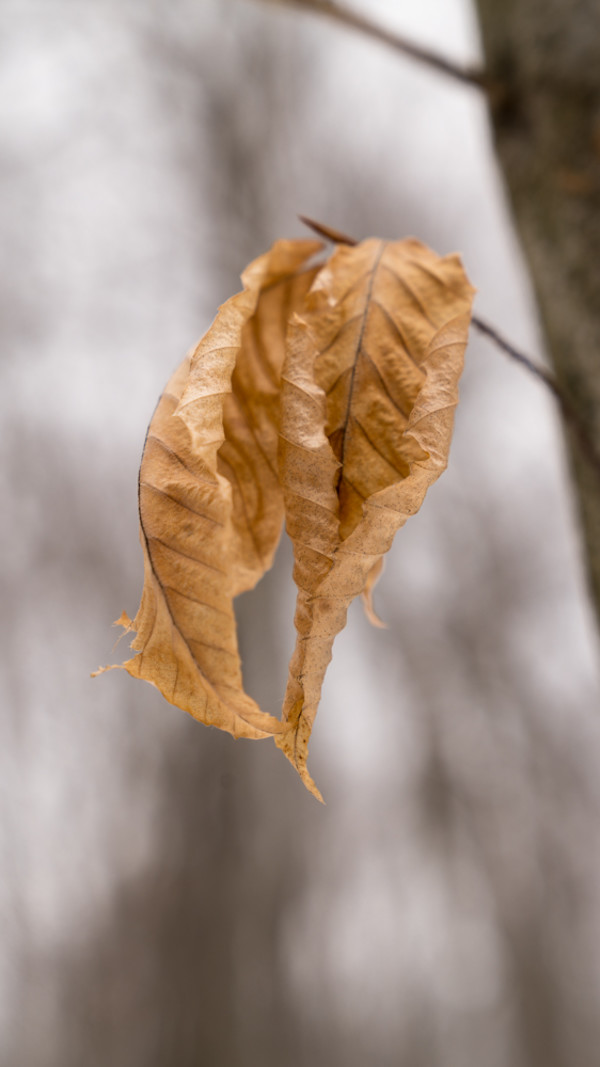 Birch Leaves in Winter by Alan Powell
