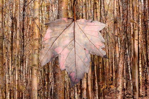 Fallen Maple Leaf, fall 2016 by Alan Powell