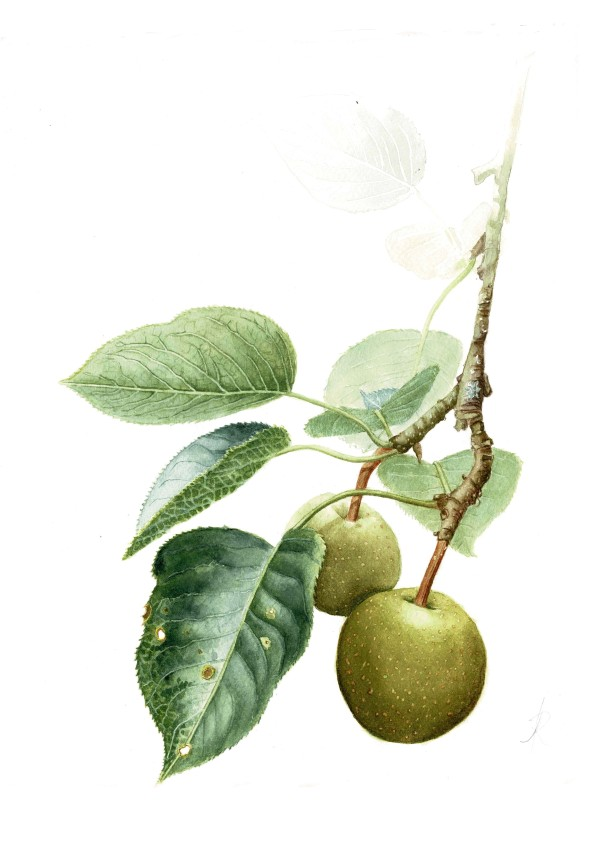 Asian pear by Audrey Reilly