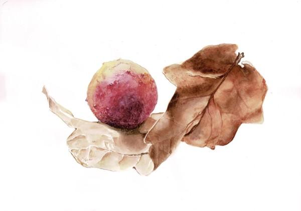 Oak galls - cynips quercusfolii by Audrey Reilly