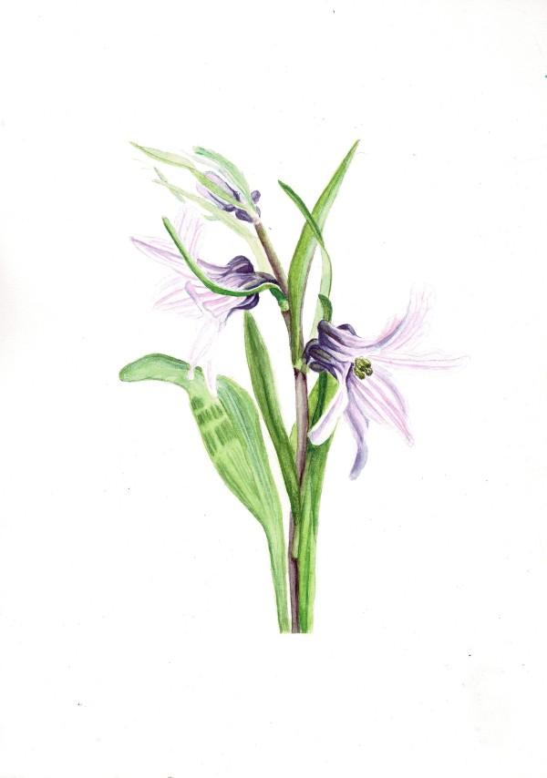 Fritillaria stenanthera by Audrey Reilly
