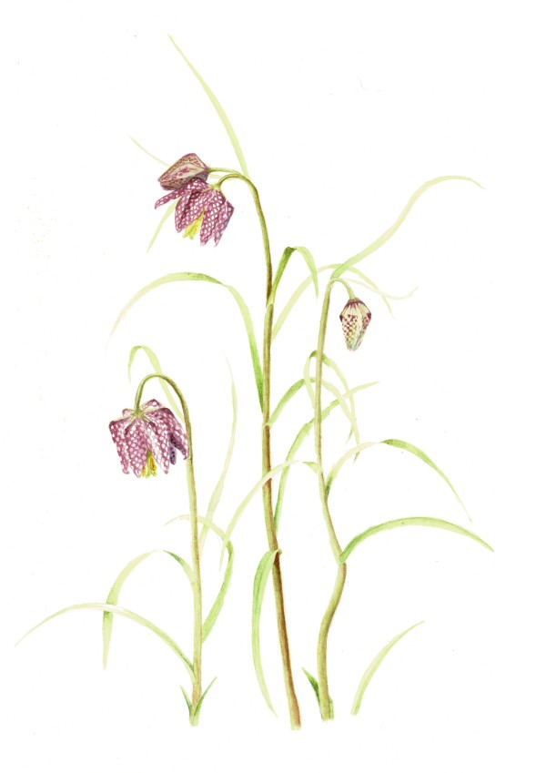 Fritillaria Meleagris by Audrey Reilly