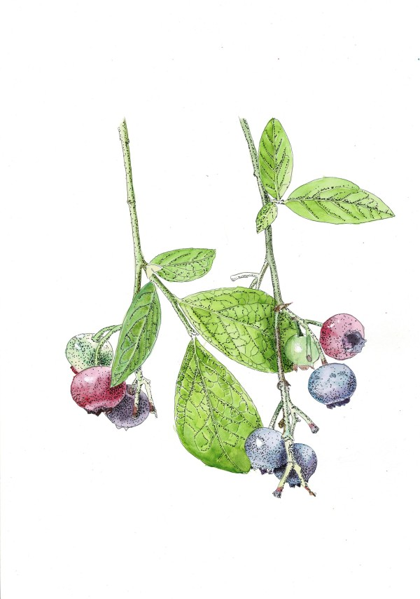 Blueberries by Audrey Reilly